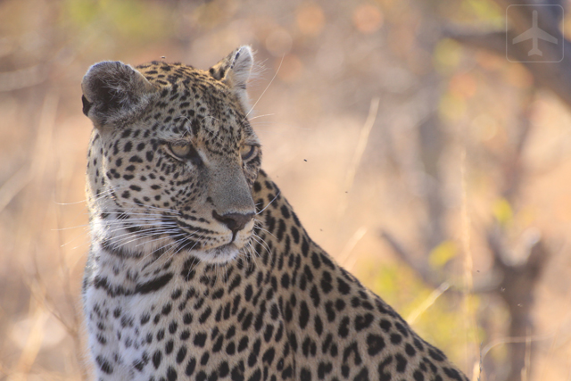 "The leopard is one of the ""Big 5""."