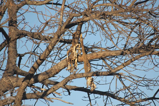 A corpse of a warthog hanging on the tree. This animal was being caught and hung on the tree by a leopard.