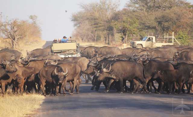 A Land Rover being swamped by an entire herd of African buffaloes!