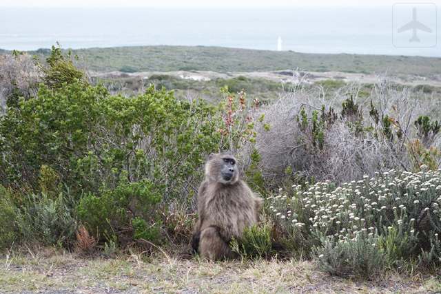 Keep your eyes peeled while inside Table Mountain National Park when driving towards Cape Point. You might spot some animals!